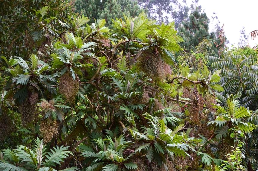 Bocconia frutescens - Papaveraceae