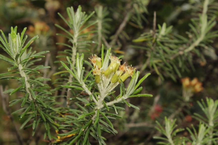 Diplostephium rosmarinifolium (Benth.) Wedd. –Asteraceae
