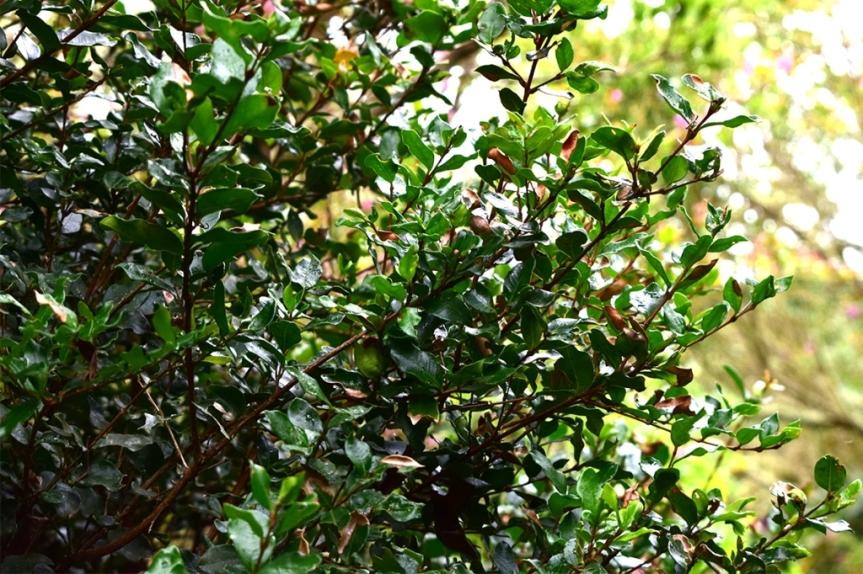 Myrcianthes leucoxyla - Myrtaceae