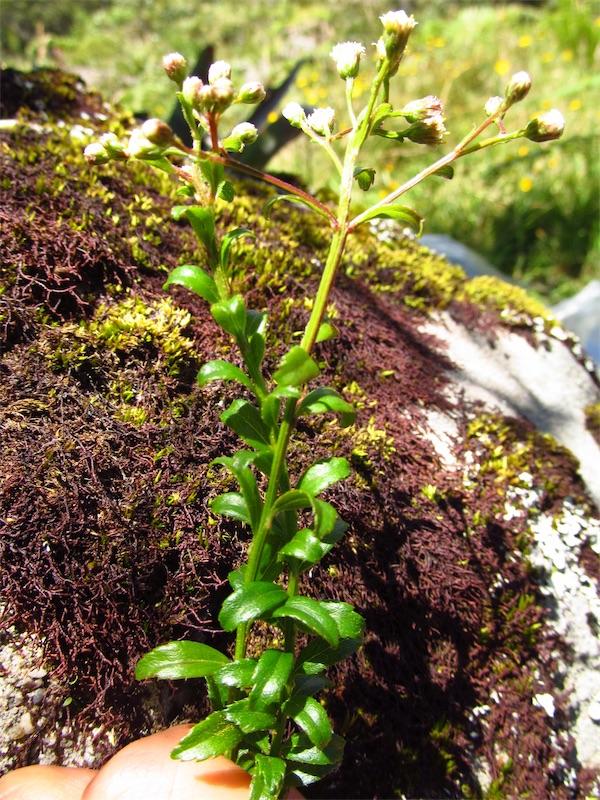 Baccharis bogotensis Kunth –Asteraceae