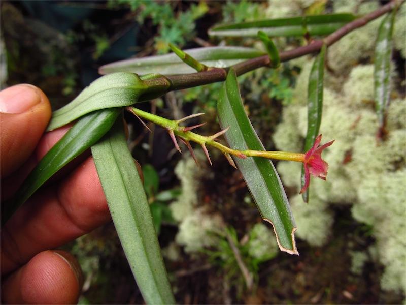 Epidendrum oxysepalum –Orchidaceae