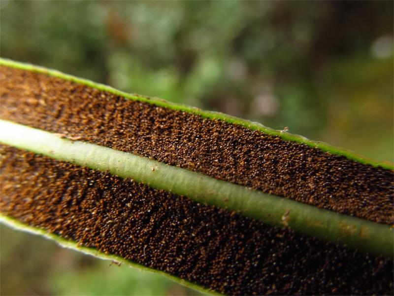 Elaphoglossum gayanum –Dryopteridaceae