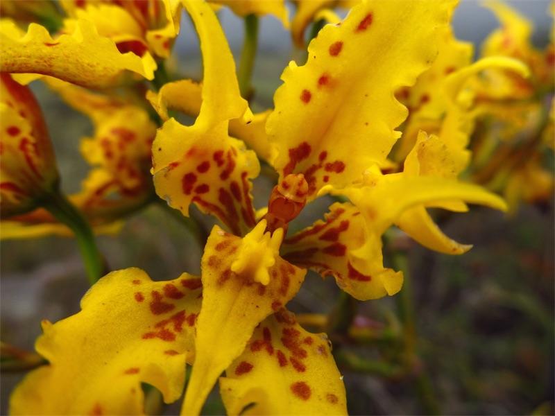 Cyrtochilum auropurpureum –Orchidaceae