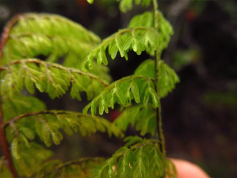 Hymenophyllum polyanthos – Hymenophyllaceae
