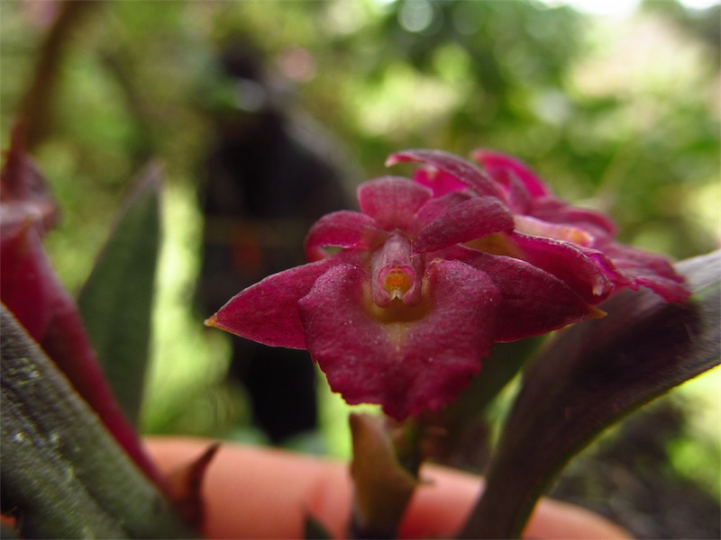 Epidendrum serpens – Orchidaceae