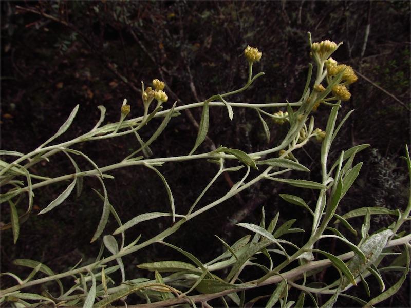 Achyrocline vargasiana –Asteraceae