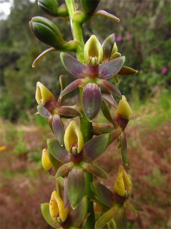 Epidendrum magnibracteum –Orchidaceae