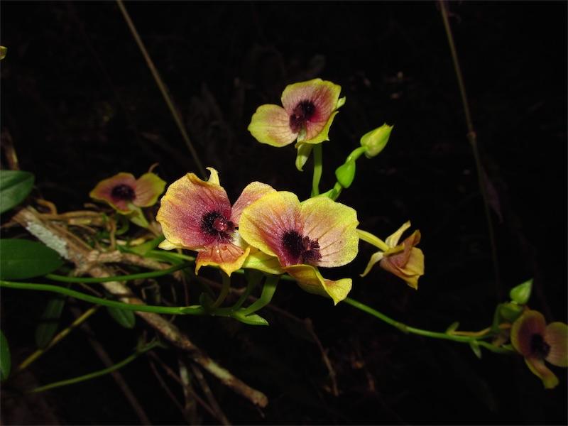Telipogon aff. hemimelas –Orchidaceae