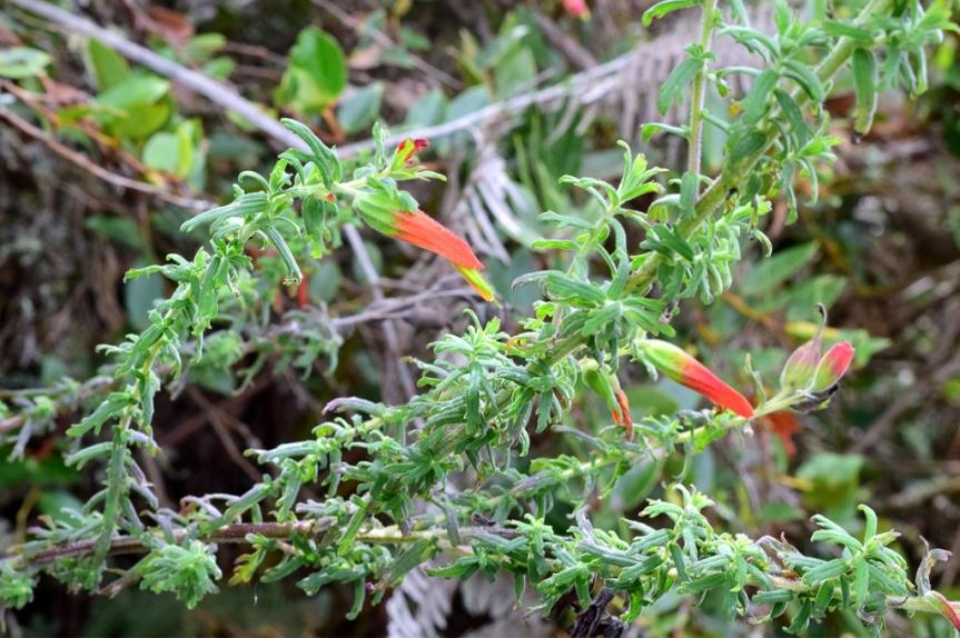 Castilleja fissifolia - Orobanchaceae
