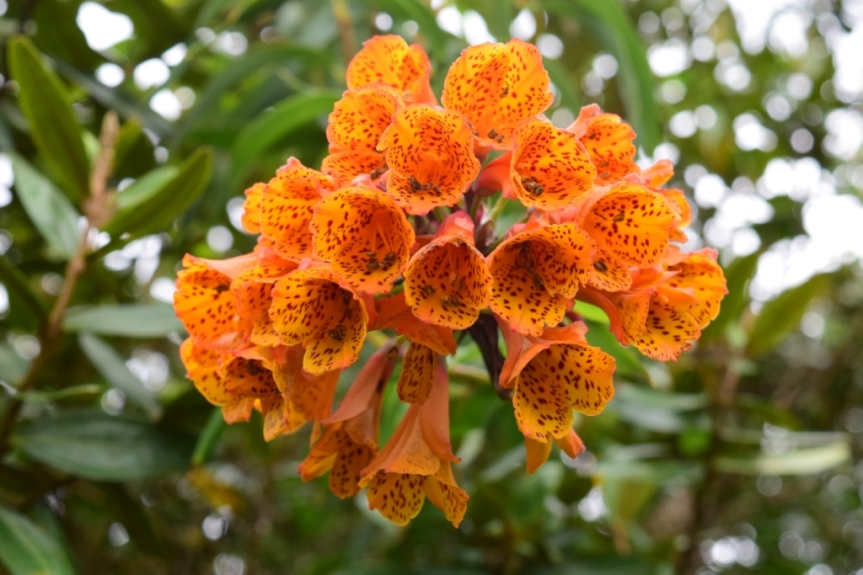 Bomarea multiflora - Alstroemeriaceae