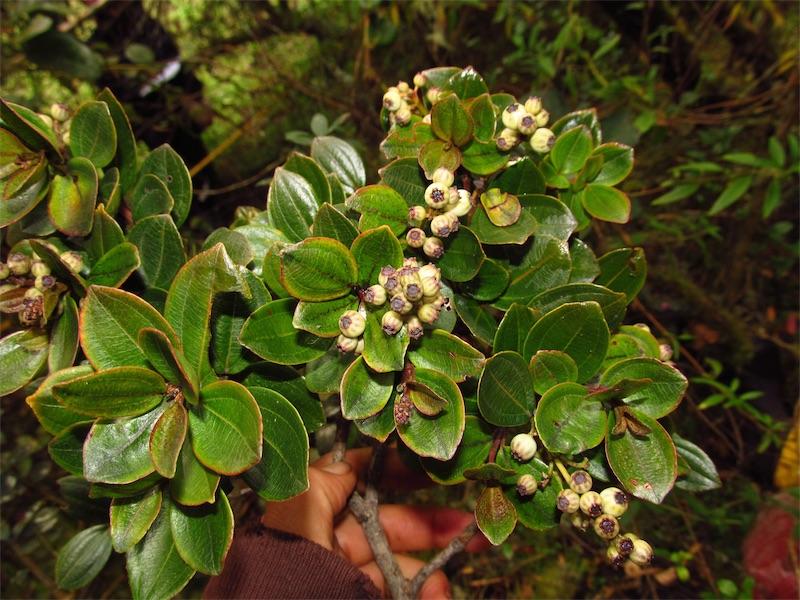Miconia ligustrina –Melastomataceae