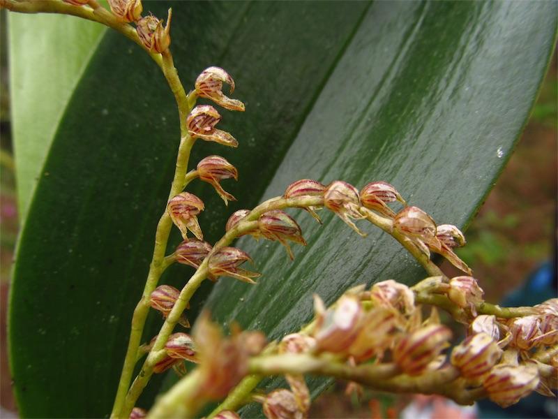 Pleurothallis cassidis –Orchidaceae