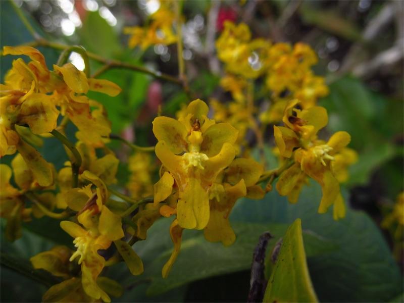 Oncidium ornithorhynchum –Orchidaceae