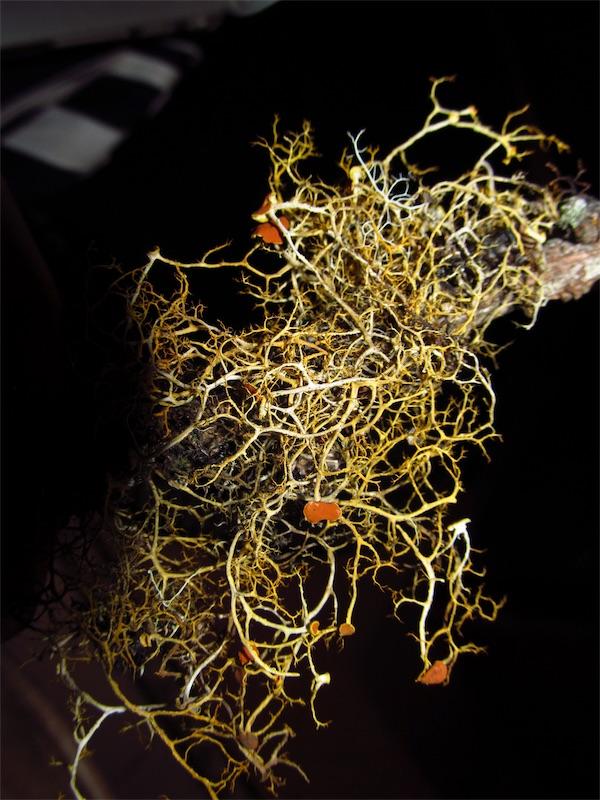 Teloschistes flavicans –Teloschistaceae