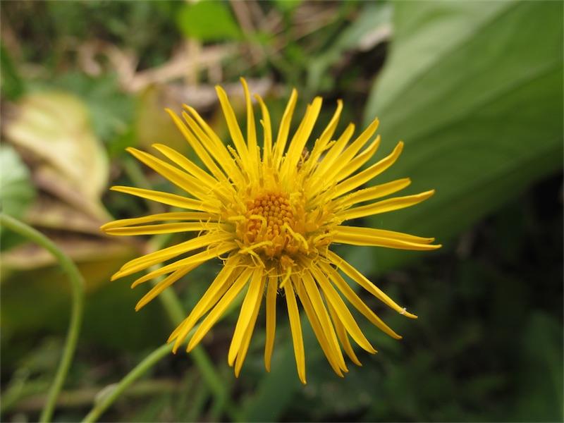 Munnozia senecionidis Benth. –Asteraceae