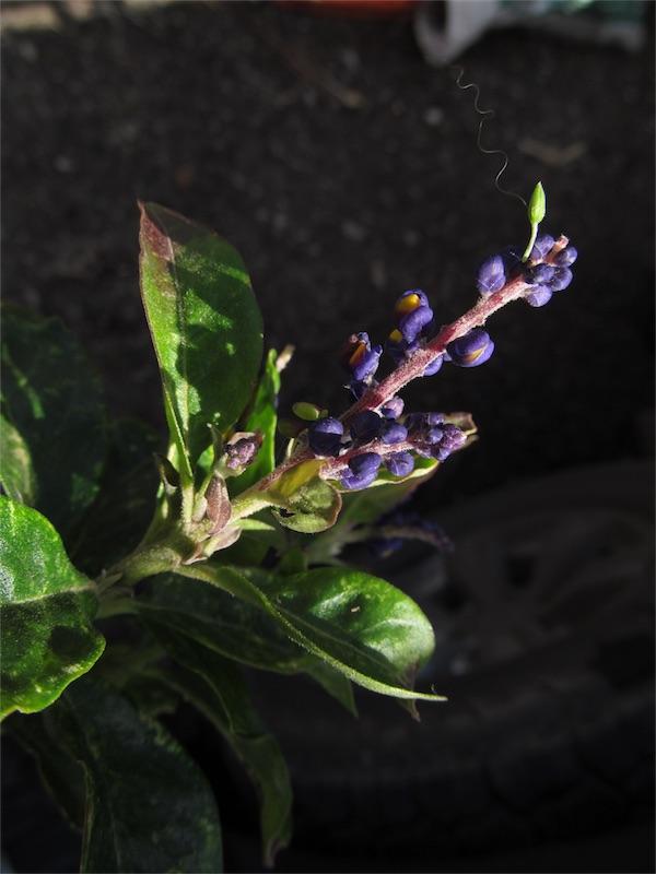 Monnina floribunda –Polygalaceae