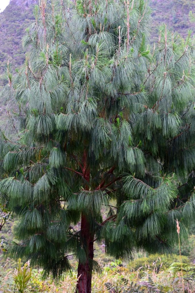 Pinus patula - Pinaceae