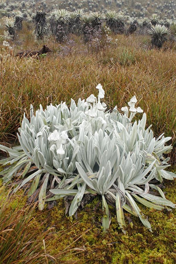 Culcitium canescens Humb. & Bonpl. –Asteraceae