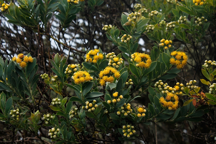 Pentacalia vaccinioides - Asteraceae