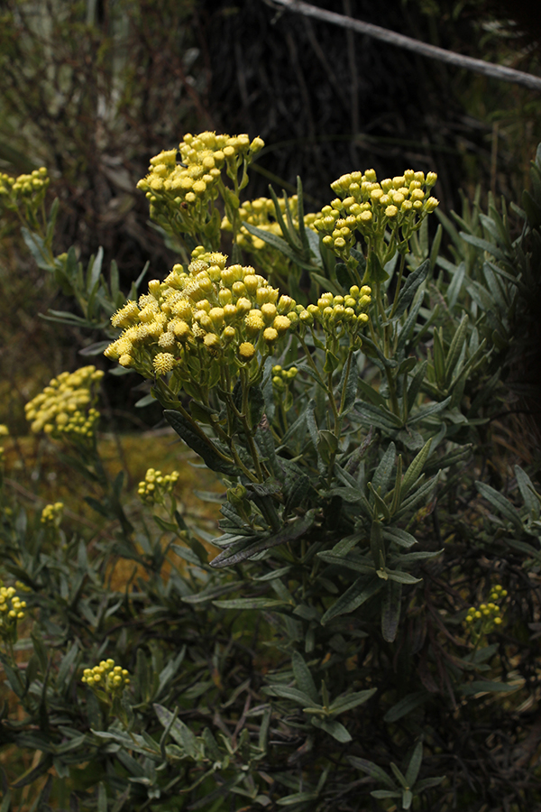Pentacalia reissiana (Hieron.) Cuatrec. – Asteraceae(Endémica)