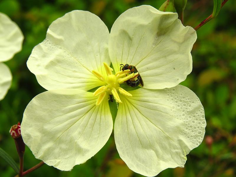 Ludwigia rigida –Onagraceae