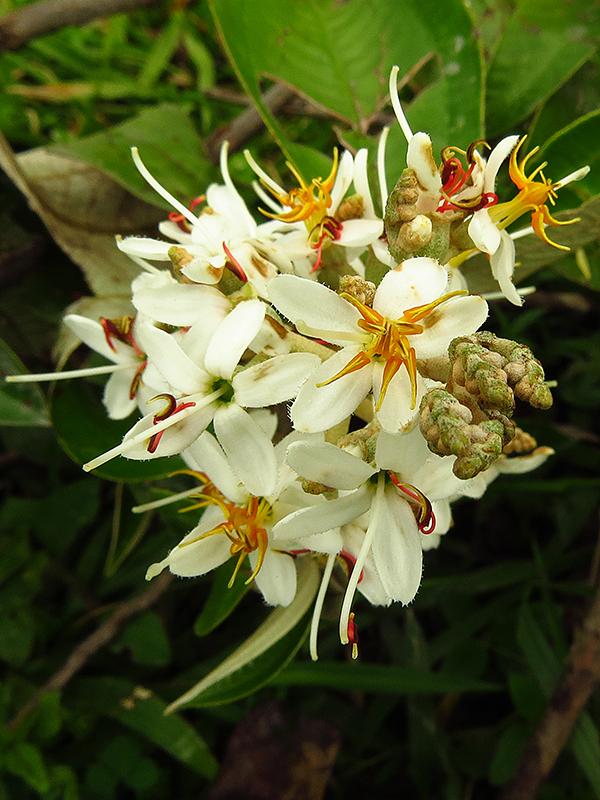 Miconia stenostachya –Melastomataceae