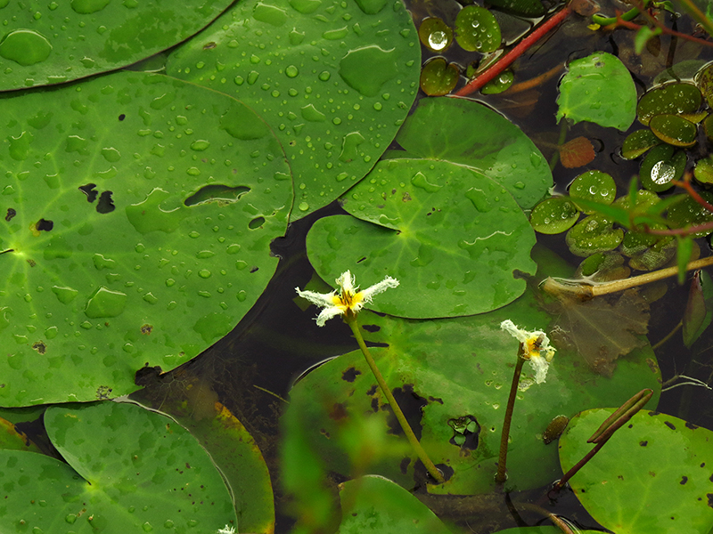 nymphoides-indica-salvinia-auriculata