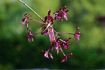 Laelia elata - Orchidaceae