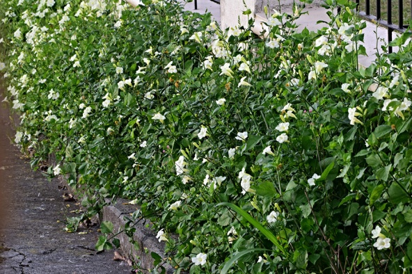Asystasia gangetica (L.) T. Anders. - Acanthaceae