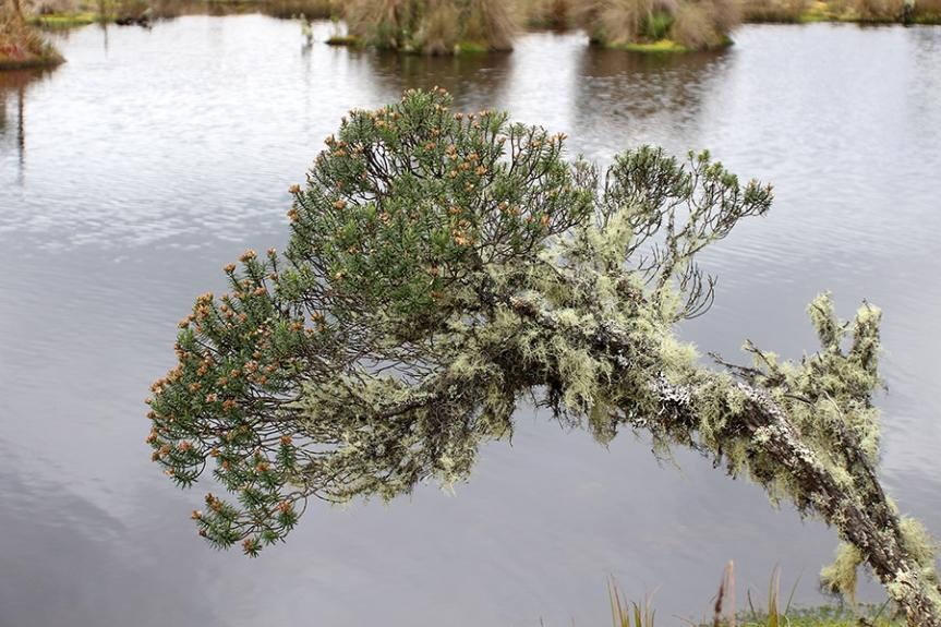 Diplostephium revolutum S.F.Blake –Asteraceae
