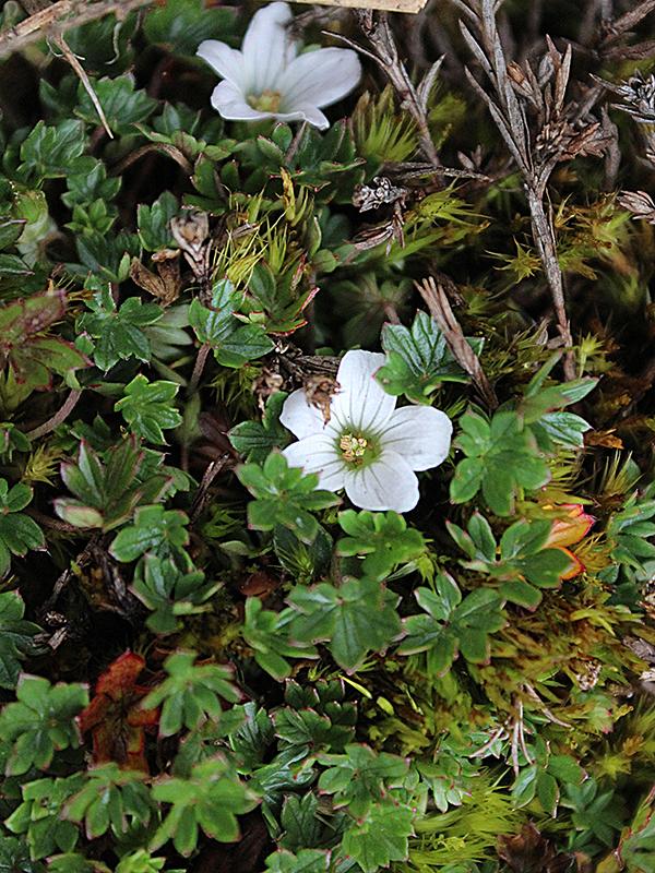 Geranium sibbaldioides –Geraniaceae