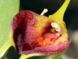 Masdevallia bicolor - Orchidaceae