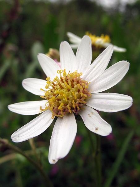 Senecio carbonellii - Asteraceae