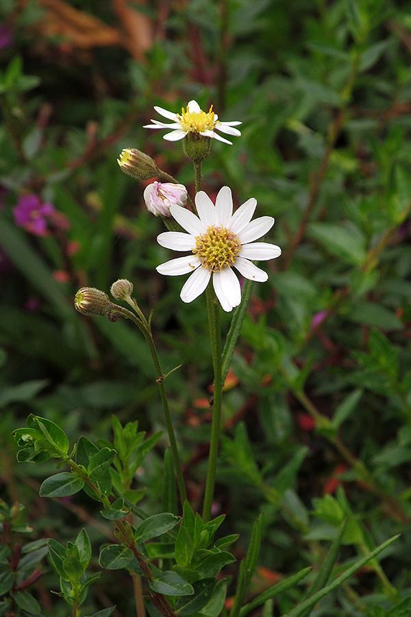 Senecio carbonellii S. Díaz-Piedrahíta – Asteraceae(Endémica)