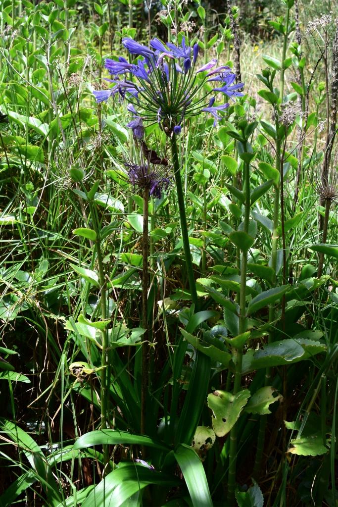 Agapanthus africanus (L.) Hoffmanns. - Amaryllidaceae (Exótica)