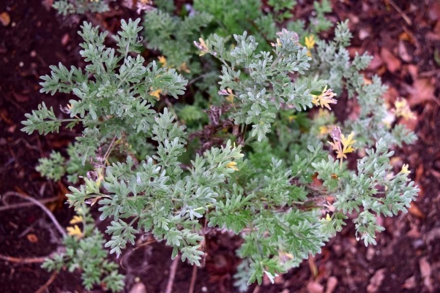 Artemisia absinthium L. – Asteraceae(Exótica)