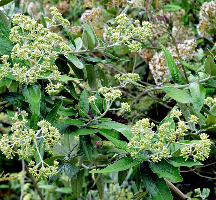 Ageratina asclepiadea (L.f.) R.M.King & H.Rob. – Asteraceae (Endémica)