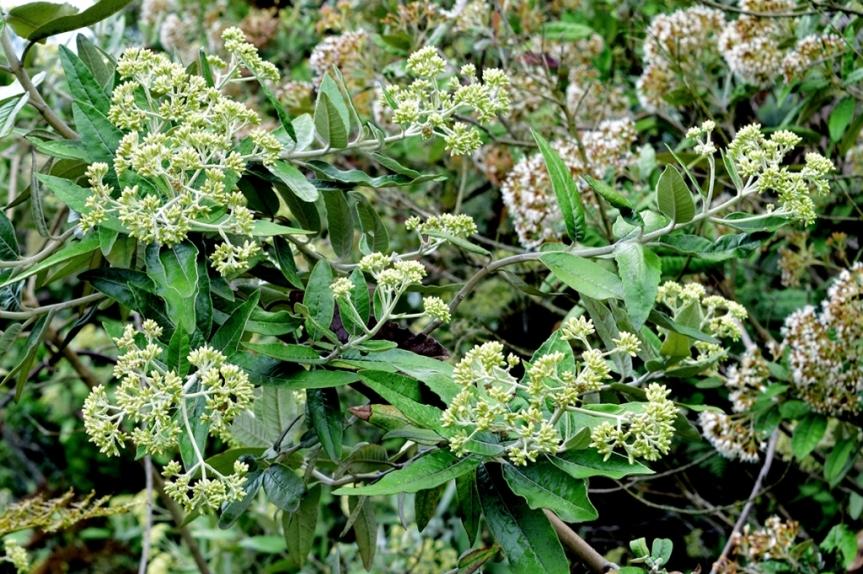 Ageratina asclepiadea - Asteraceae