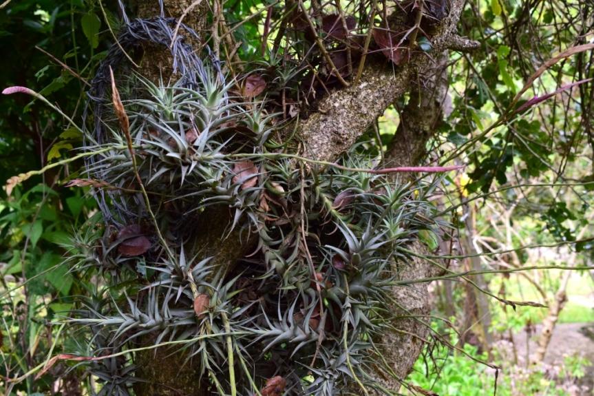 Tillandsia incarnata –Bromeliaceae