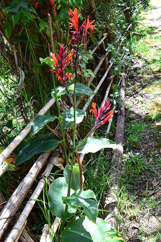 Canna indica - Cannaceae