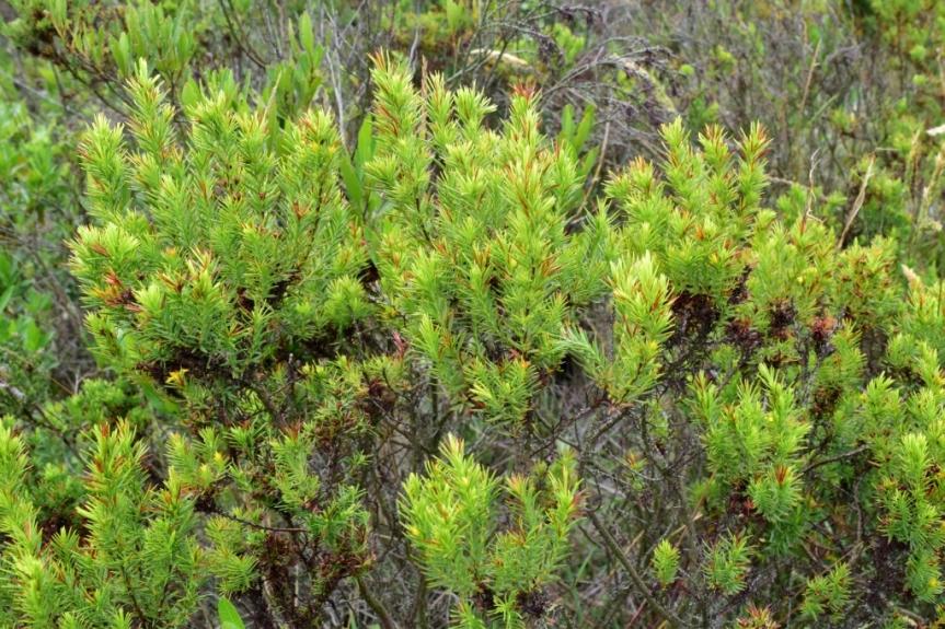 Hypericum juniperinum - Hypericaceae