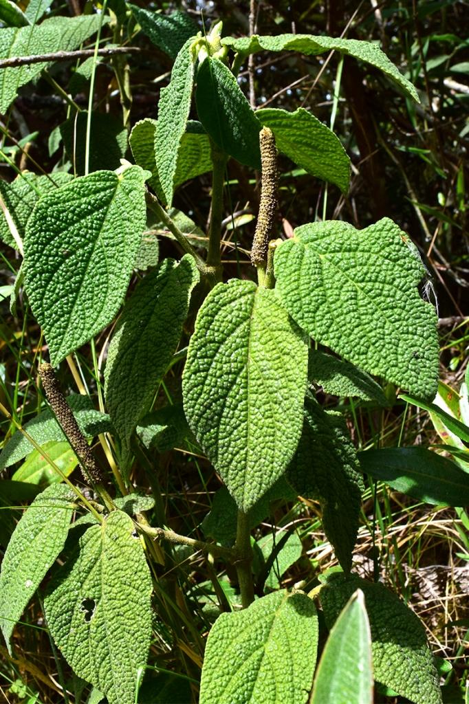 Piper artanthe –Piperaceae