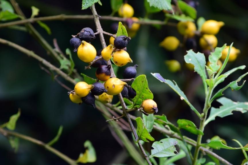Duranta mutisii –Verbenaceae