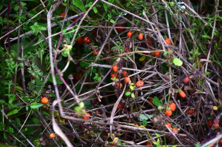 Galium canescens - Rubiaceae