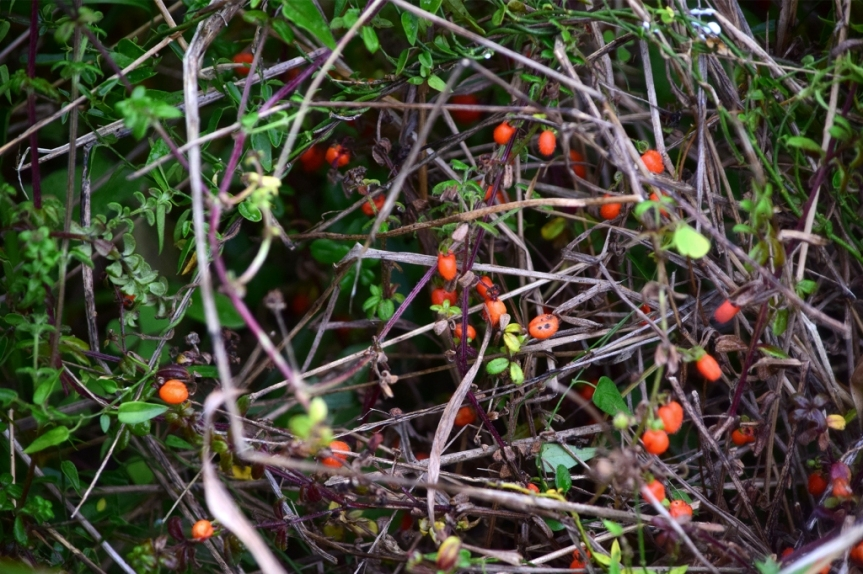 Galium canescens –Rubiaceae
