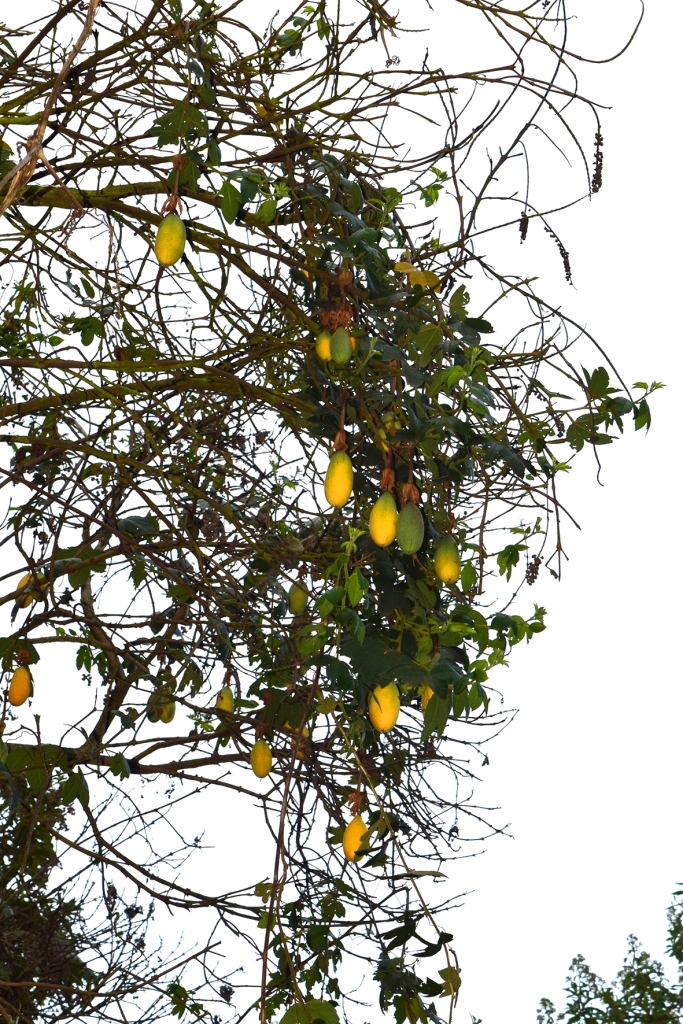 Passiflora tarminiana - Passifloraceae