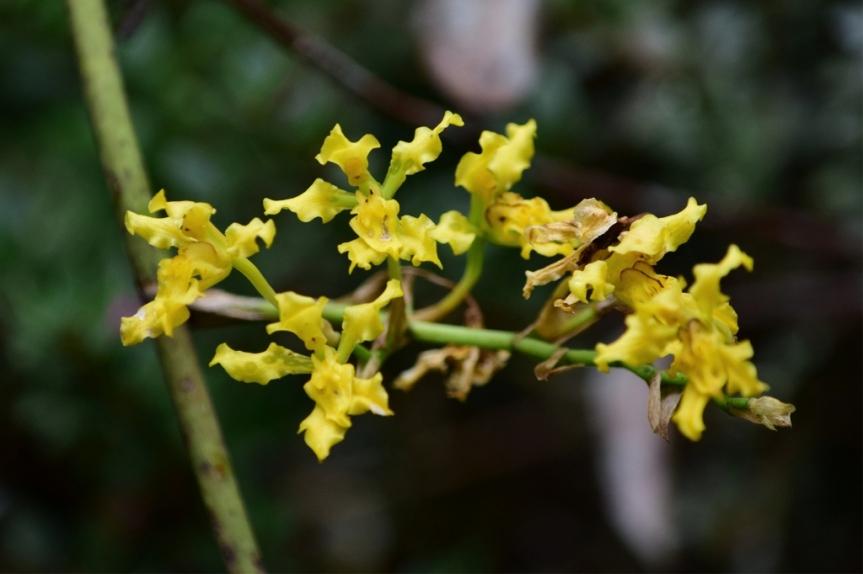 Cyrtochilum revolutum - Orchidaceae