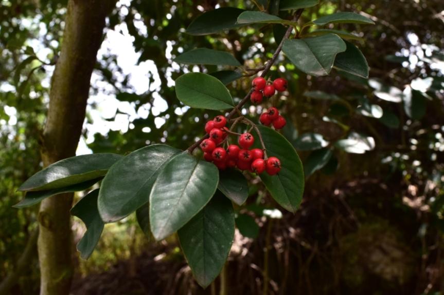 Cotoneaster pannosus - Rosaceae