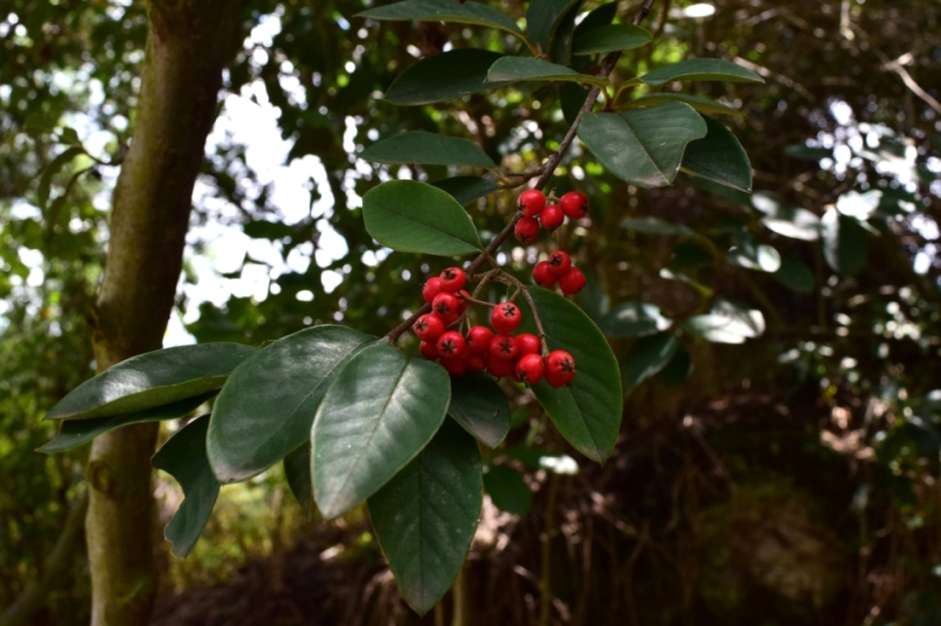 Cotoneaster pannosus – Rosaceae(Exótica)