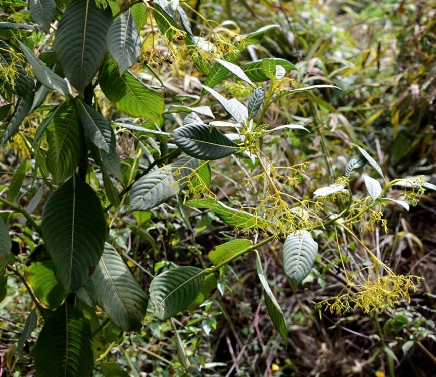 Palicourea lineariflora –Rubiaceae